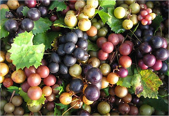 Muscadine-grape.jpg