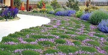 red-creeping-thyme-plants-creeping-thyme