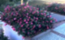 Dwarf Camellia Pink.5ced52b24679b1.44972