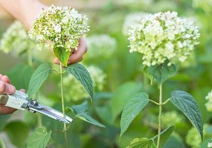 Pruning & Cutting back your Hydrangeas, Camellias & Azaleas