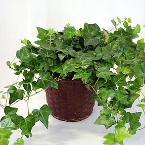potted-ivy1.jpg