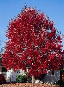 summer red maple.jpg