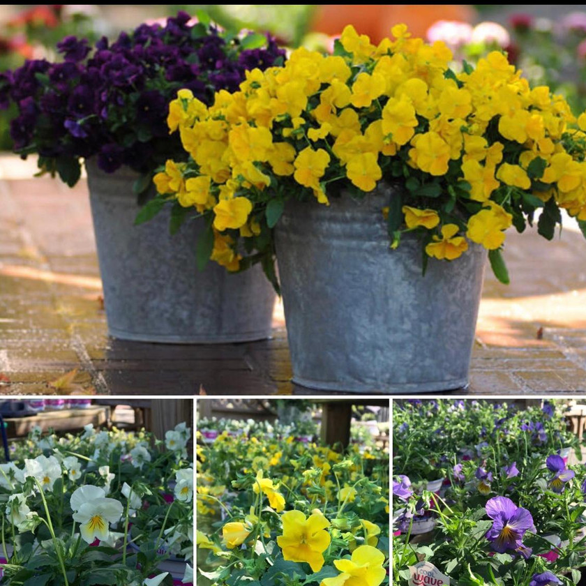 Trailing Pansies are  here!