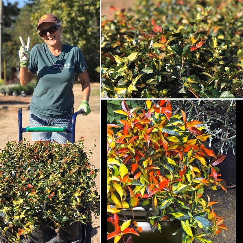 Summer Sunset Evergreen Jasmine for your pots
