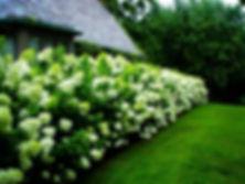 hydrangea-limelight-1.jpg