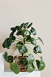 chinese money plant image.png