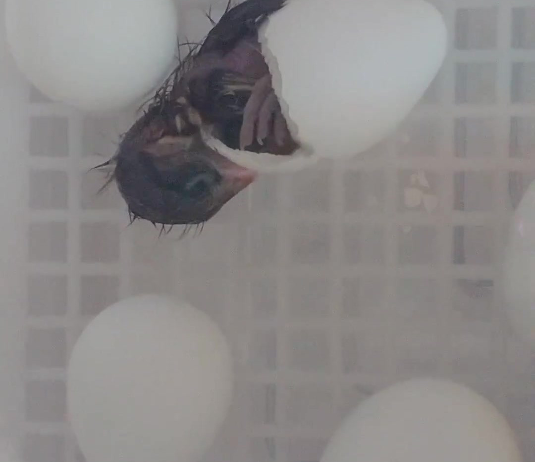 Quail Eggs Hatching
