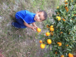 Satsumas for sale