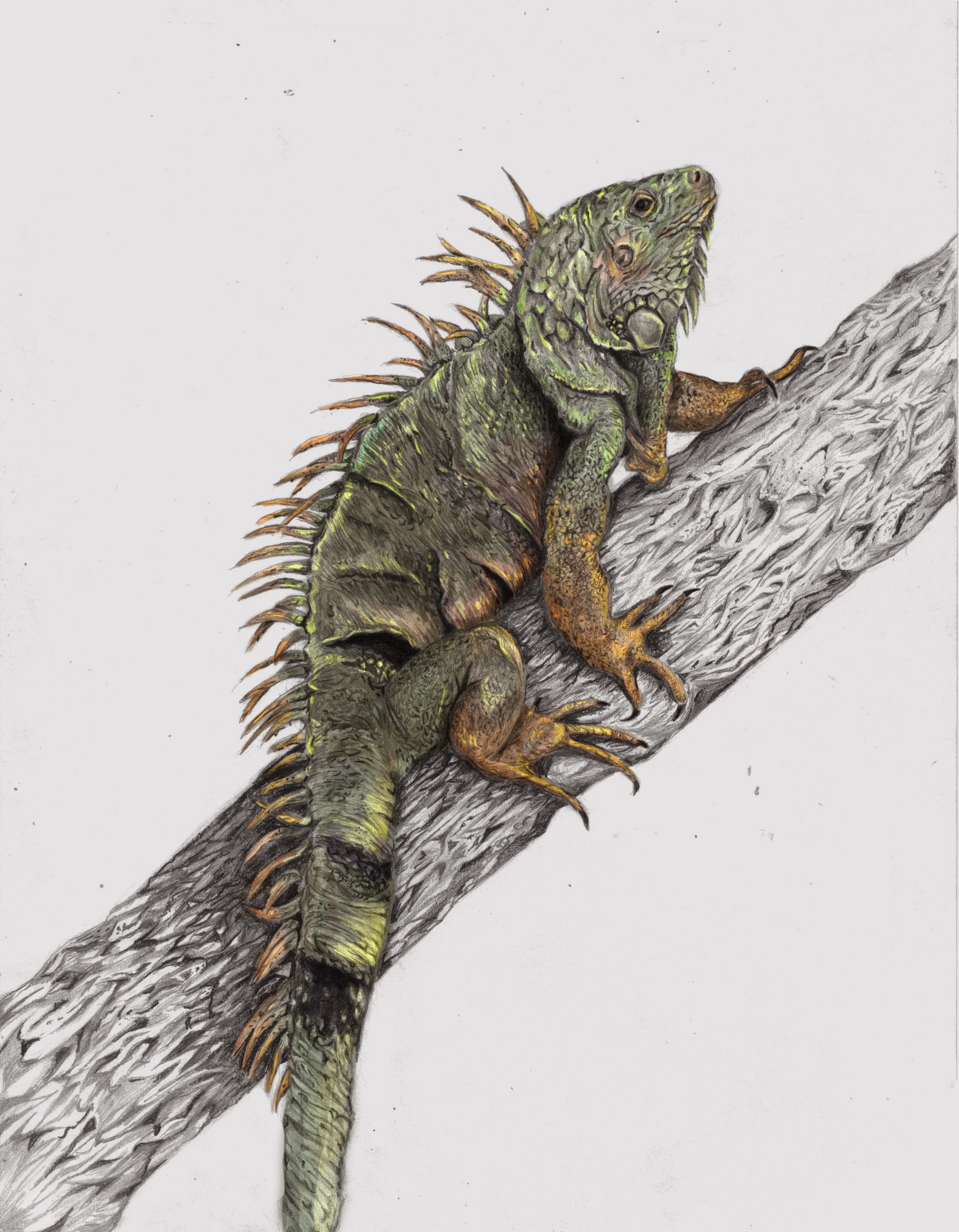 Iguana - Ricardo Macia