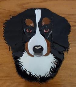 Carini, Bernese Mountain Dog