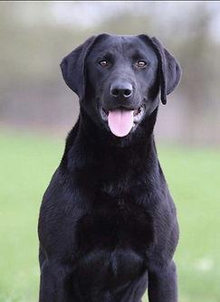 Labrador Retriever, Black, Nebraska, Hunting Retriever Champion, Fancy