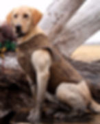 Hunting Retriever Champion, Hook, Yellow, Labrador Retriever, Nebraska