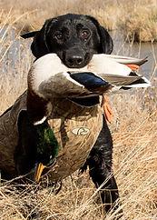 Hunting retriever champion, yellow, labrador retriever, Jack, black