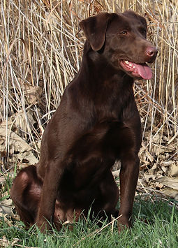 Labrador Retriever, Chocolate, Nebraska, Hunting Retriever, Zoom