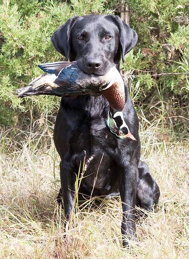 fancy wood duck.jpg