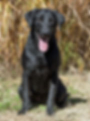 Labrador Retriever, Black, Nebraska, Hunting Retriever, Penny