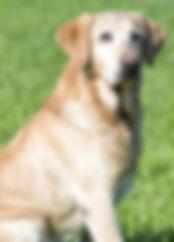 Labrador Retriever, Yellow, Nebraska, Grand hunting retriever champion, master hunter, drake