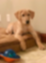 Labrador Retriever, Yellow, Nebraska, Duck Dog, Honey