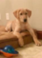Labrador Retriever, Yellow, Nebraska, Honey