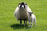 Swaledale_mother_and_lamb.jpg
