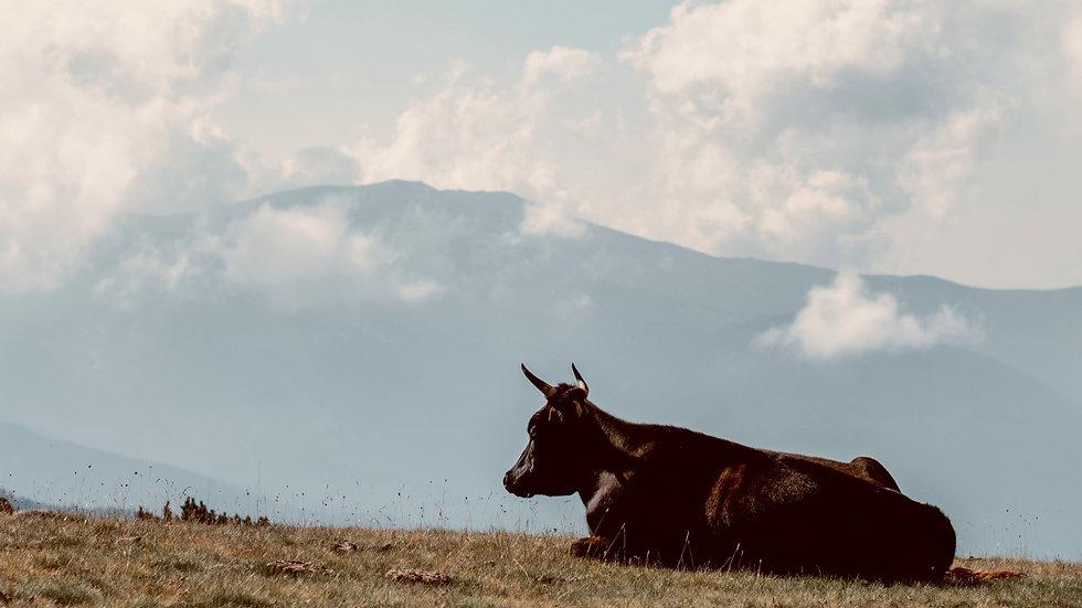 vegan,cow,kühe,schmuck.jpg