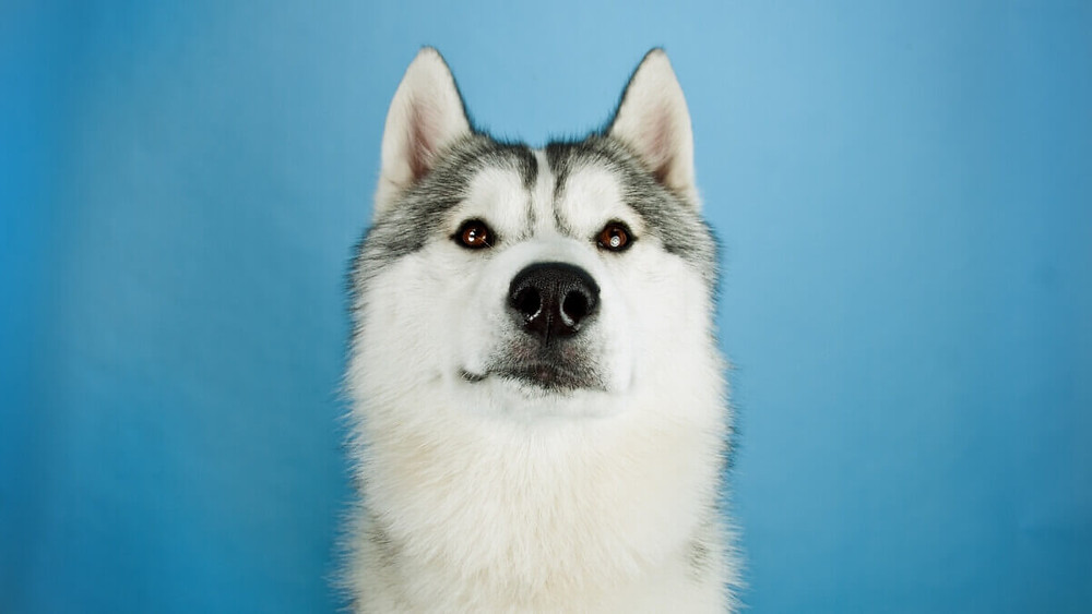 Perplexed Husky looking directly at you.