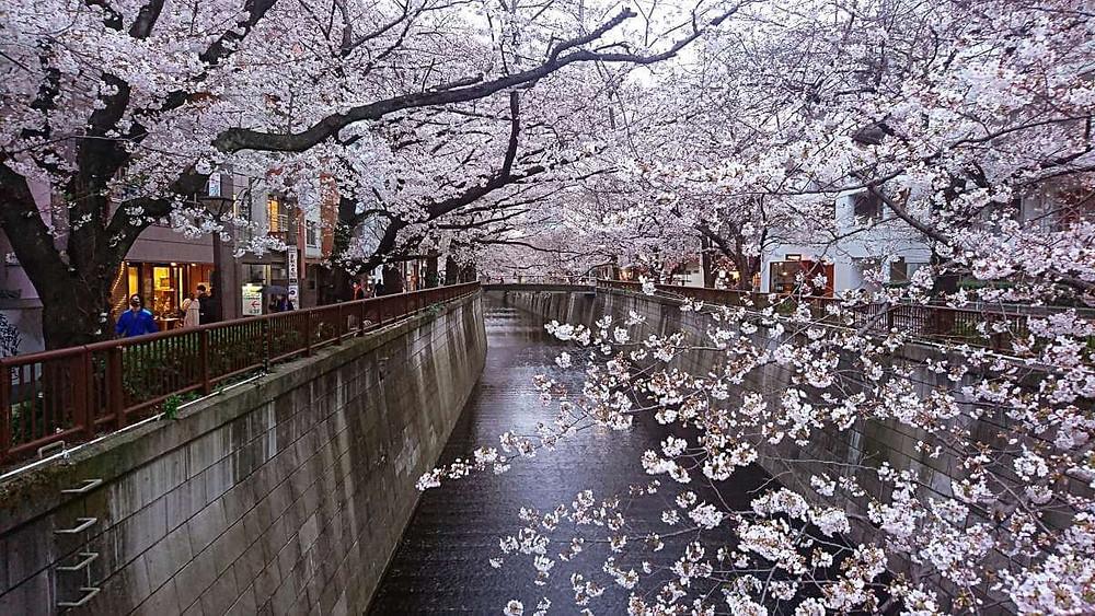 Cherry Blossoms in full bloom alongside NakaMeguro River.