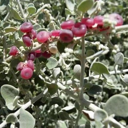 Creeping Saltbush - Rhagodia Spinescens
