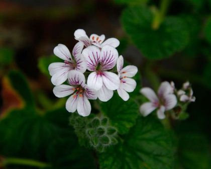 Native Geranium - Pelargonium Australe