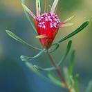 Lambertia formosa.PNG