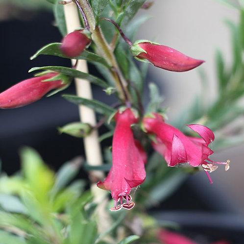 Eremophila Mallee Ruby