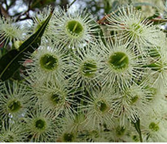 Corymbia gummifera.PNG