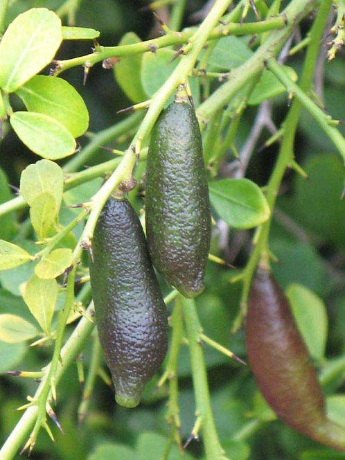 Citrus Australasica - Ungrafted