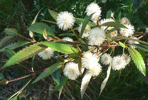 Callicoma Serratifolia - Black Wattle