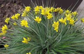 Conostylis Pauciflora - Cadda Mambrina