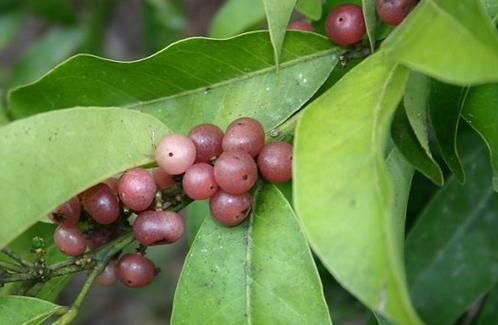 Glycosmis Trifoliata - Pink Lime Berry