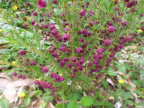 Boronia Purple Jared
