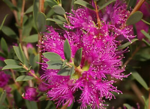Melaleuca thymifolia - Thyme Honey-Myrtle