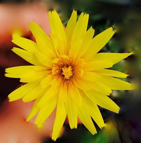 Murnong Seeds (Yam Daisy)