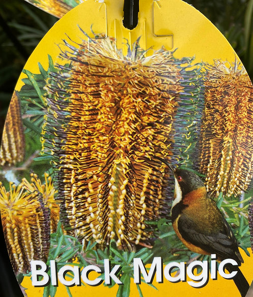 Banksia Spinulosa - Black Magic