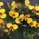 Dillwynia retorta.PNG