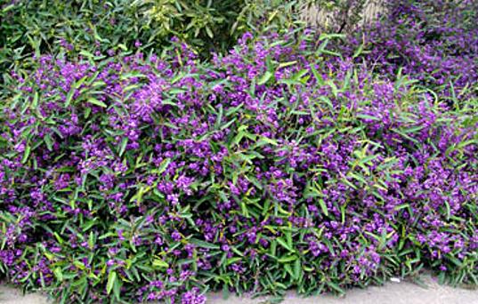 Hardenbergia violacea.PNG