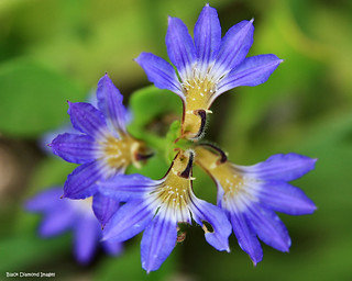 Dune Flower - Scaevola Calendulacea