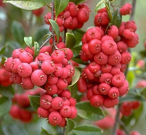 Apricot Satinash Lilly Pilly - Syzygium Fibrosum