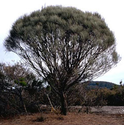 Allocasuarina distyla.PNG