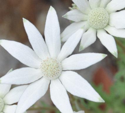 Sydney Flannel Flower Seeds