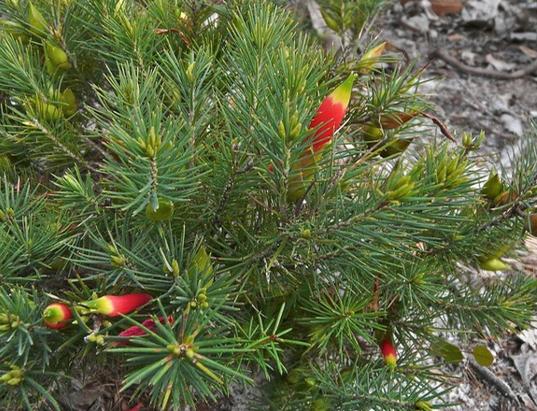 Astroloma pinifolium.PNG