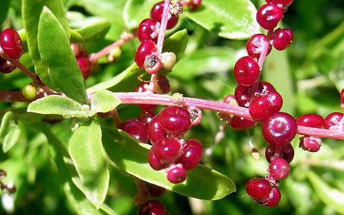 Sea Berry Saltbush - Chenopodium candolleanum