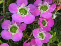 'Rhiannon' Tea Tree -Leptospermum