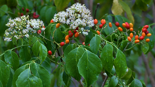 Micromelum Minutum - Lime Berry